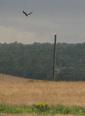 A brief shot of a bald eagle flying away, PEI, Aug 06