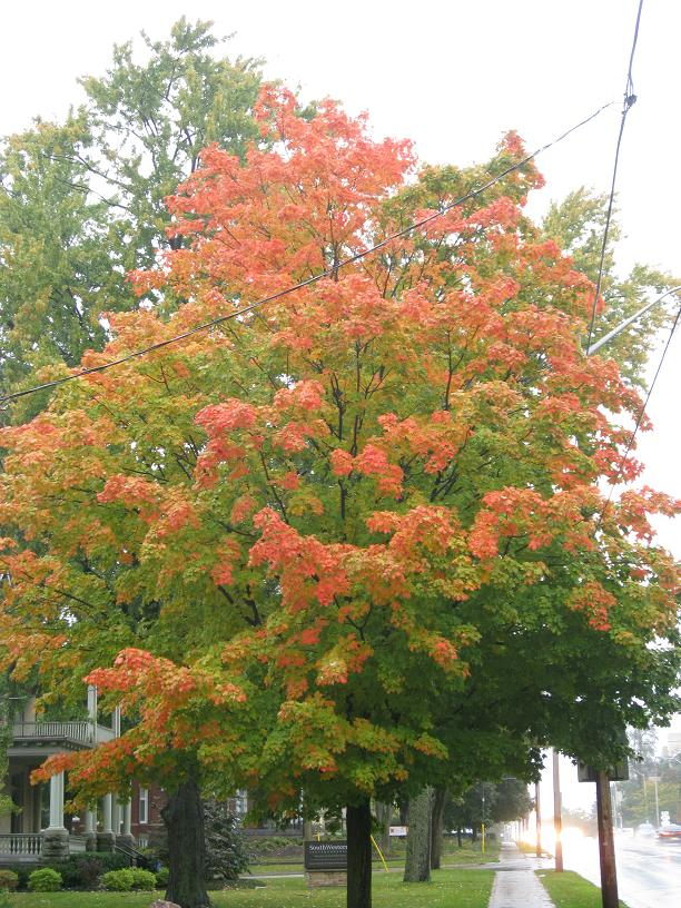 I love these maples that go red at the tips and then work their way inward