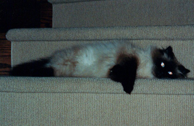 One of the earliest photos I could find, of her lounging on the stairs at my parents' place. A few near-misses of getting stepped on and nearly killing her humans and she learned to find better places to lounge... mostly.