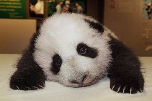 The original sad panda image, currently a popular internet meme.